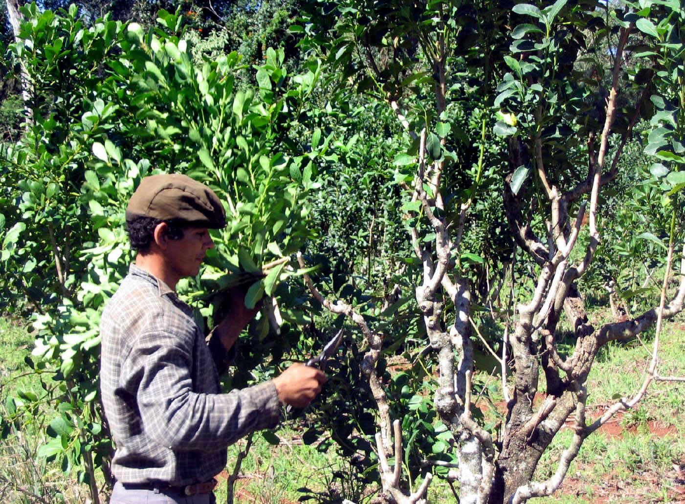 Circuito Yerba Mate : Primeras plantaciones de yerba mate u yerba mate argentina